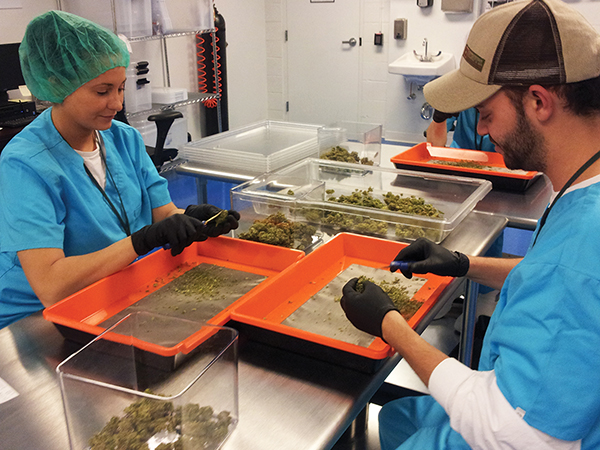 Two workers pick small leaves off the outside of marijuana flowers using tweezers to remove the chloroform they contain.